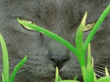 Cat face close-up in grass