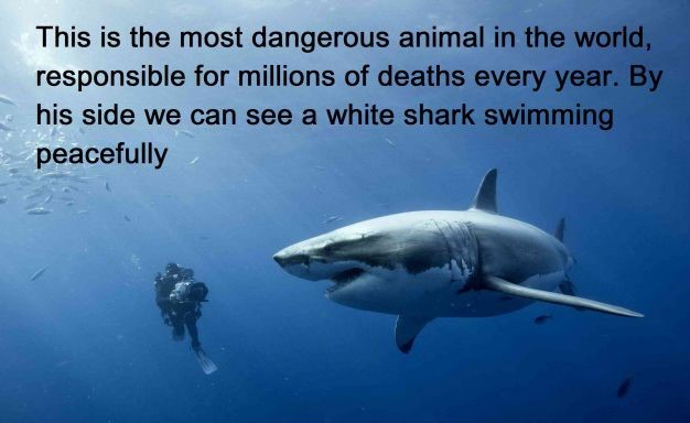 Most dangerous animal (human) swims next to shark