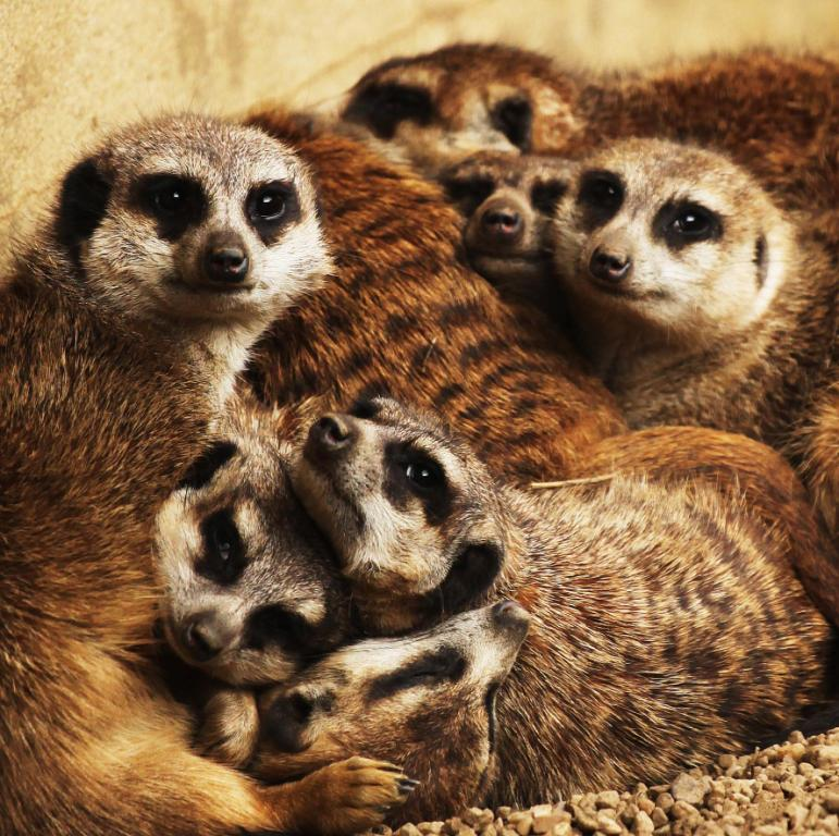 Meerkat group snuggle