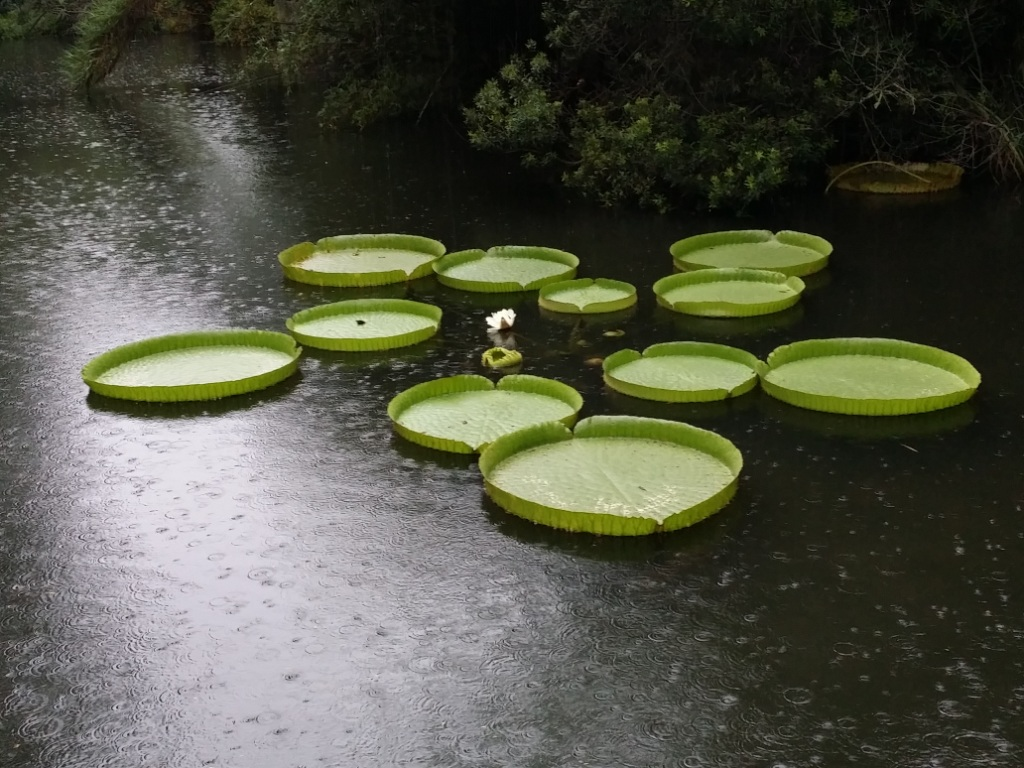 Rainy giant lily pads